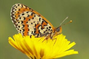 colores mariposa doncella tímida