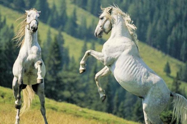 características especie de caballo barroca