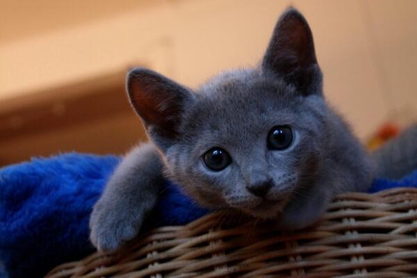 gato azul ruso pelo corto