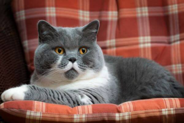 british shorthair raza de gato
