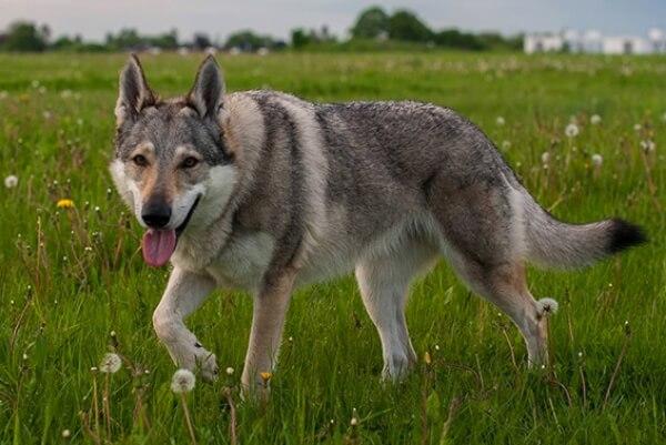 perro lobo checoslovaco historia