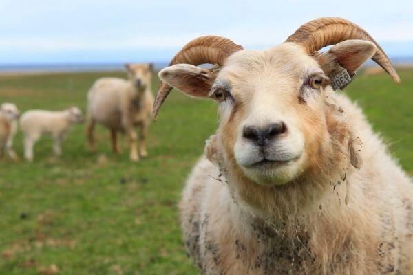 existen ovejas con cuernos