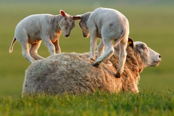 esperanza de vida oveja