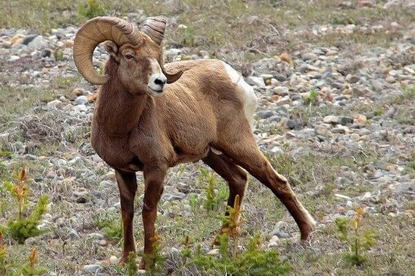 origen de la oveja