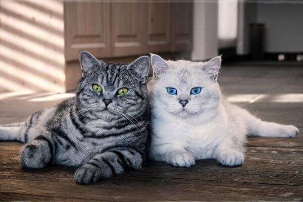 características raza de gato british shorthair