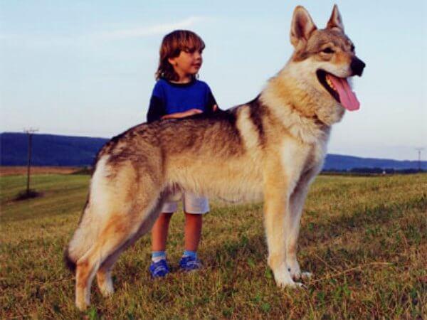 cómo es perro lobo checoslovaco