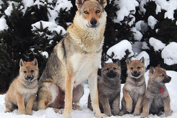 perro lobo checoslovaco caracter