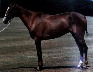 raza de caballo jaca de polo