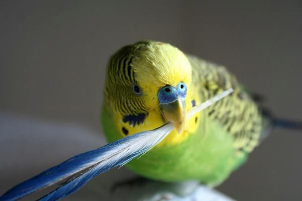 curar caída plumas periquito