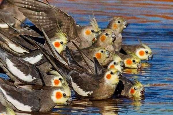cómo alimentar cacatúa ninfa