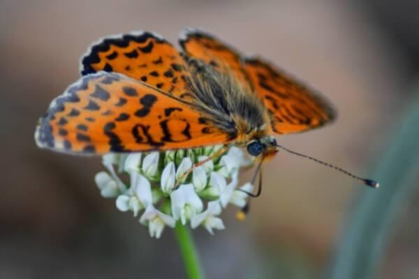 alimentación mariposa doncella tímida