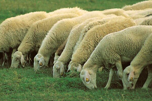 de qué se alimenta la oveja