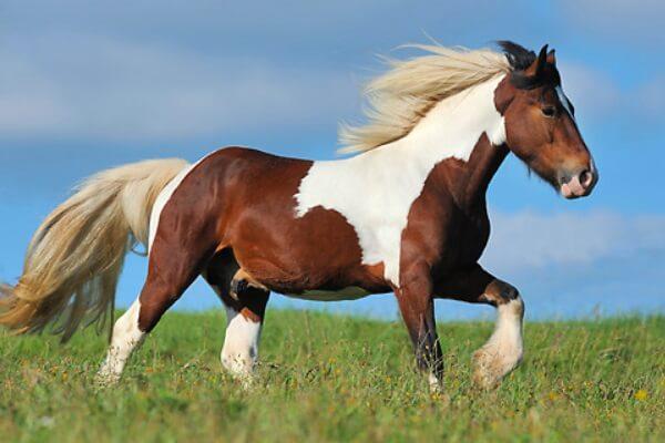 raza de caballo tinker