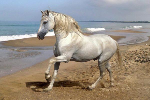 características raza de caballo barroco