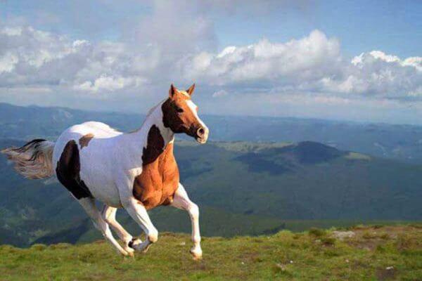 tipos de caballos del oeste