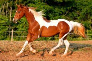 tipo de caballo paint