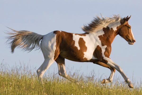 características caballo pinto