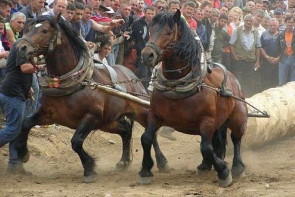 características raza de caballos de tiro
