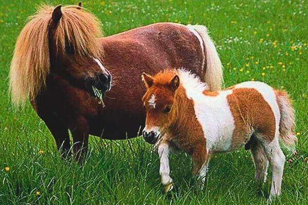 razas de caballos ponys