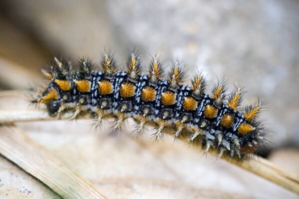 oruga mariposa doncella tímida