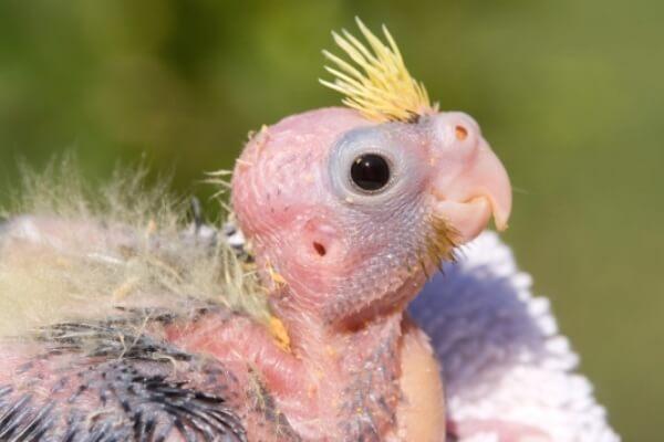 cómo se reproduce cacatúa ninfa