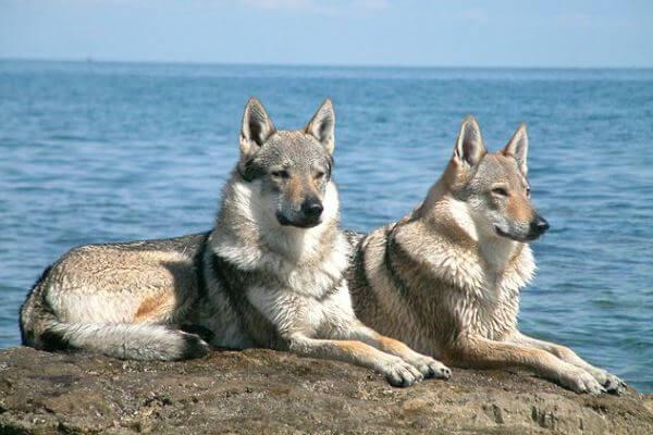cuanto vive perro lobo checoslovaco