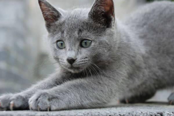 cómo es el temperamento gato azul ruso