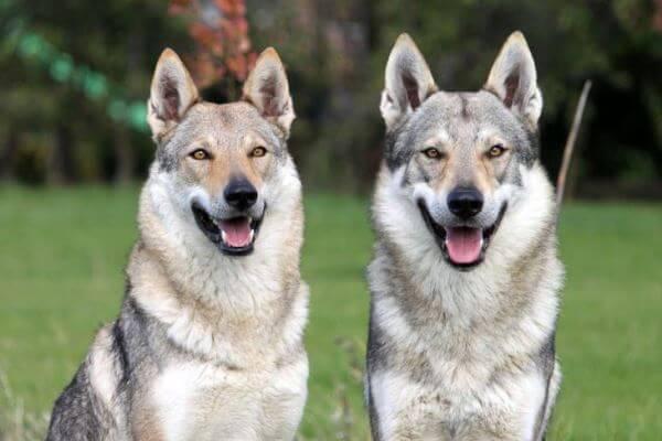 cómo se comporta perro lobo checo
