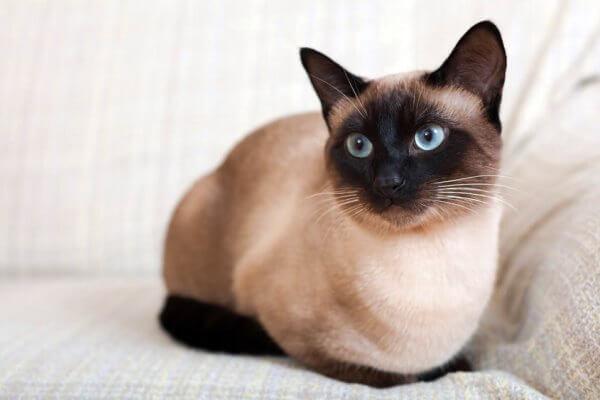 gato siames caracter