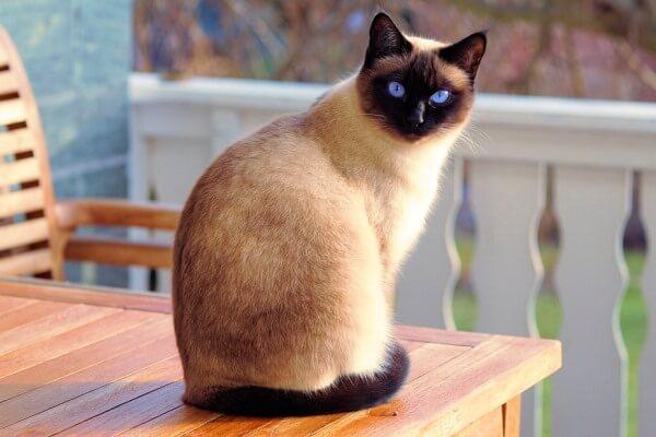 gatos siameses características