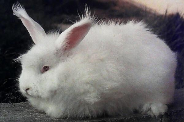 raza de conejo Angora características