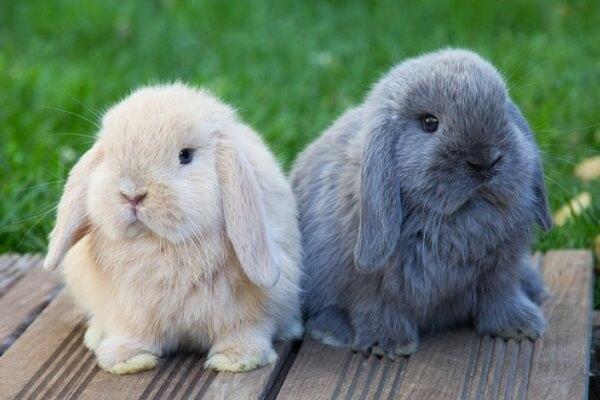 raza de conejos enano Belier características