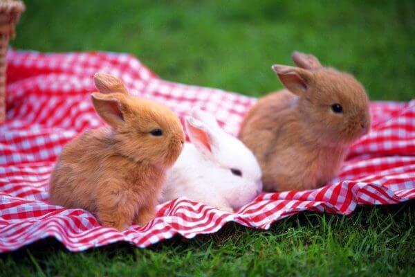 razas conejo enano características