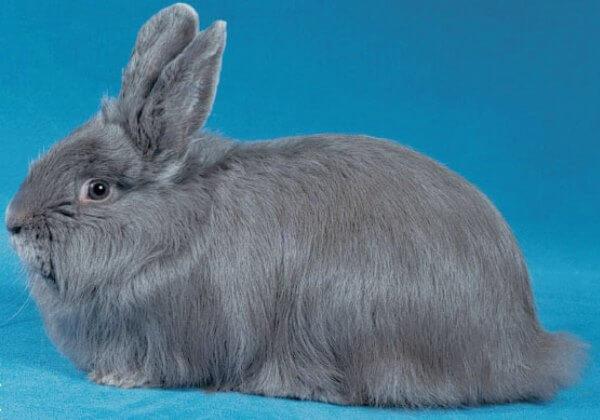 raza de conejo Renard características