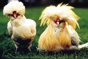 variedad de gallina Padovana - Gallina y gallo de padua