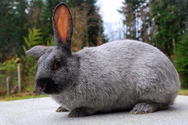 raza de conejo plateado características