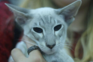 red tabby point siamese
