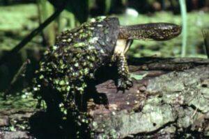 tipos de tortugas domésticas