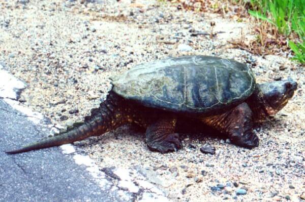 especies de tortugas de tierra