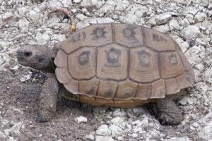 tipos de tortugas terrestres