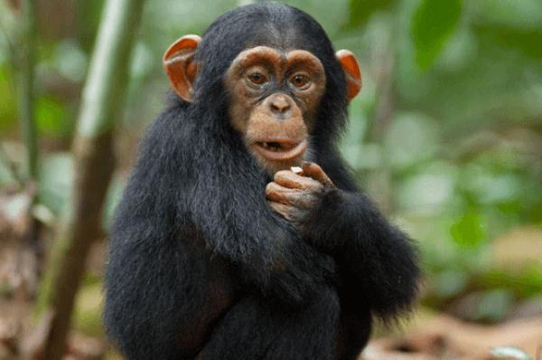 chimpancés bebé