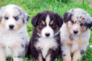 pastor australiano cachorro