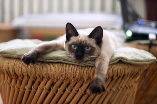 gato siamés comportamiento