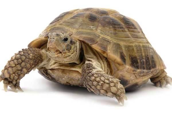 descripción de la tortuga