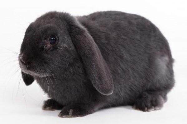 raza de conejo Belier características