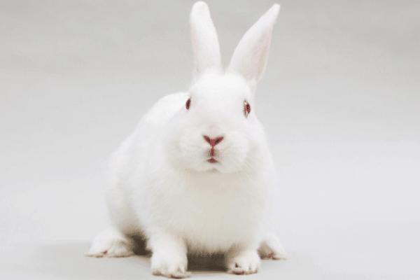 raza de conejo Nueva Zelanda características
