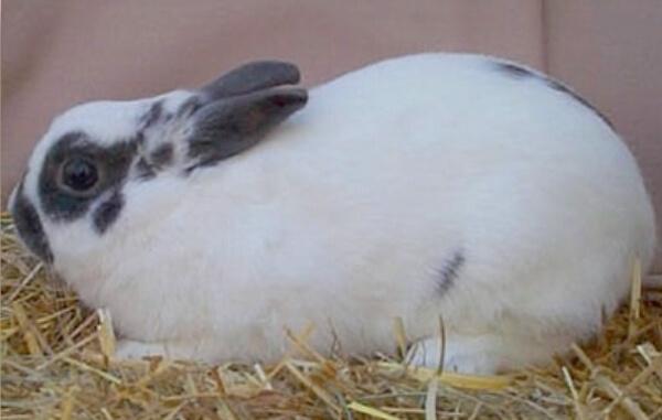 raza conejo polaco