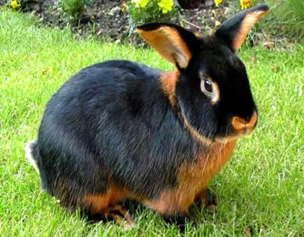 características del conejo tan
