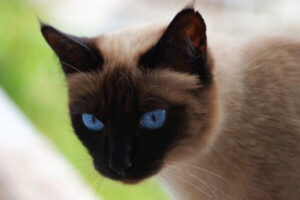 aspecto físico gato siamés