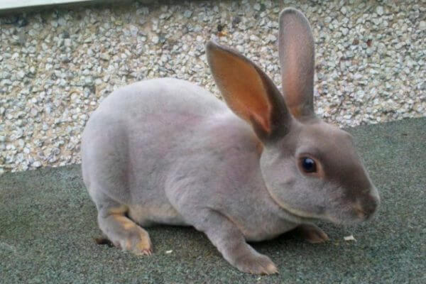 raza de conejo rex características